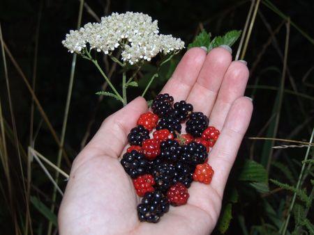 berries; fresh berries in hand