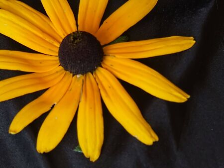 sunflower background isolated on black