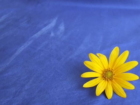 cheery: sunflower background isolated on blue  Stock Photo