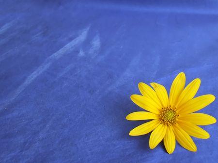 sunflower background isolated on blue  Stock Photo