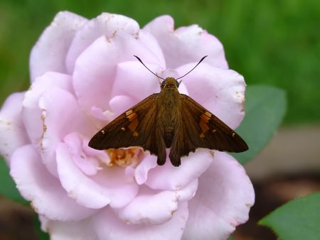 butterfly and rose photo