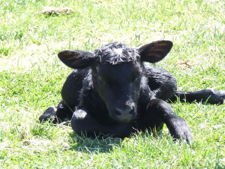 black angus cattle: newborn Angus calf