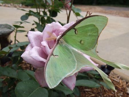 Luna butterfly on rose