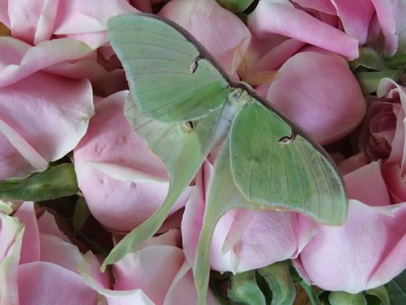 Butterfly on bed of roses photo