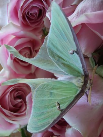 Butterfly on bed of roses