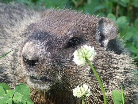 clear close up of woodchuck in clover field