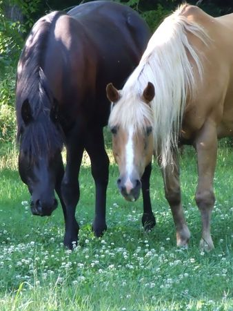 a pair of horses standing side by side in a clover field looking into the camera Stockfoto