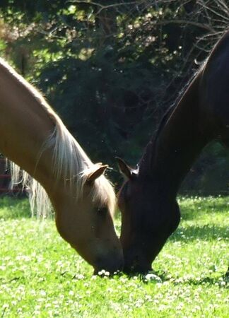 a pair of beautiful horses with noses touching in clover field