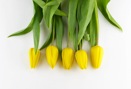 Yellow tulips on white background with place for your text