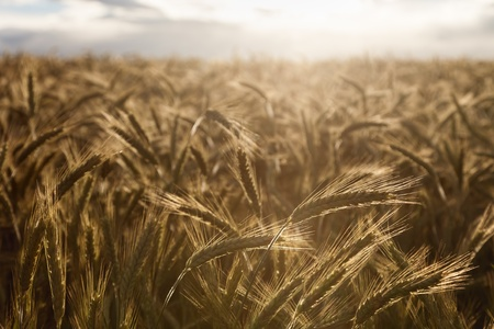 non cultivated: Crops of barley illuminated by the sun
