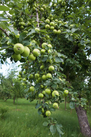 ceda: Excelente rendimiento de las manzanas en una rama