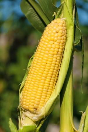 Fresh corn cob on the stalk