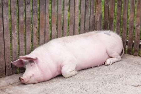 sedentary: Pig relaxed lying and sleeping in a pigpen Stock Photo