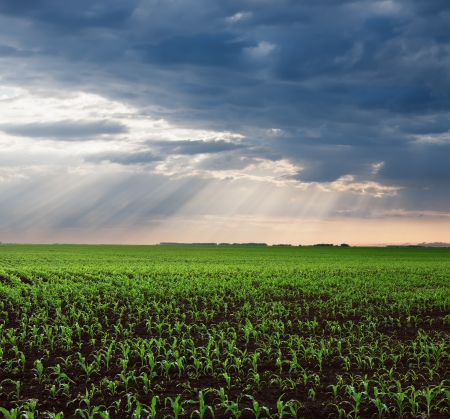 Endless green corn fields after the storm with sunbeams