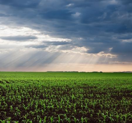 Endlose grüne Maisfelder nach dem Sturm mit Sonnenstrahlen Standard-Bild - 25110812