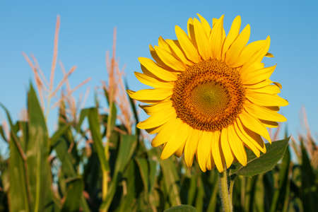 corn flower: Sunflower in a horizontal orientation against the blue sky and corn field Stock Photo
