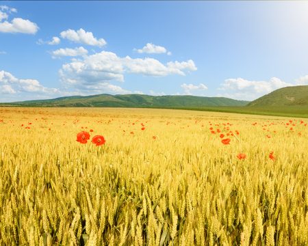 blue sky and fields: Endless rolling wheat fields towards the sunlight