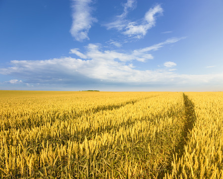 Endless rolling wheat fields towards the sunlight photo