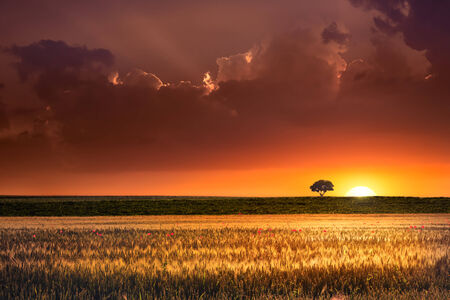 Sunset, lonely tree and wheat fields photo