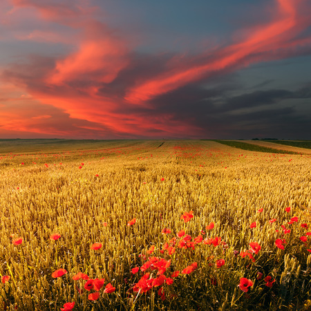 Wheat field and poppies at beautiful sunset