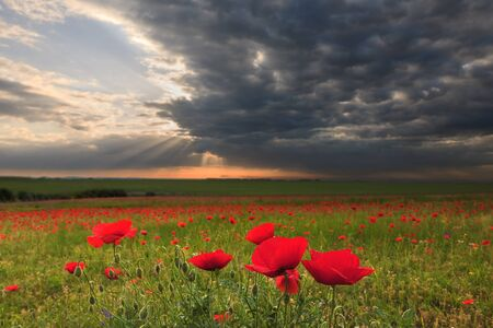 vastness: Dramatic clouds over the neglected agricultural land with poppy flowers in the foreground. Shallow depth of field.