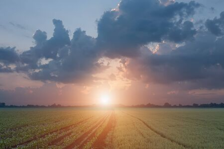 corn fields: Divided fields of corn and wheat as opposed to the setting sun