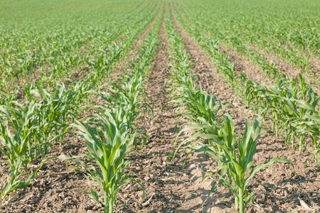 planta de maiz: Inmenso campo de cultivo de maíz en las primeras horas de la mañana