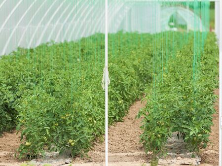 upright row: Young tomato plants in a greenhouse at spring. All the latest technology applied.