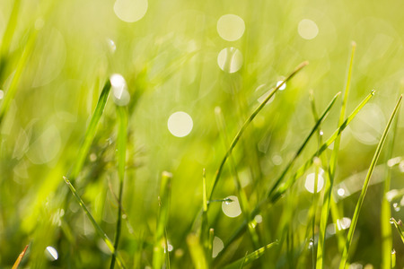 Fresh green spring grass with dew drops closeup towards the sunlight. Abstract nature background with bokeh - shallow depth of field.