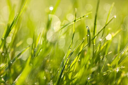 leaf water: Fresh green spring grass with dew drops closeup towards the sunlight. Abstract nature background with bokeh - shallow depth of field.