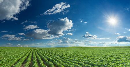 青空と夕日と枝豆の行。ダイズ圃場の大規模な農業のパノラマ。