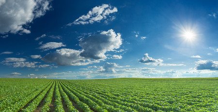 Rows of green soybeans against the blue sky and setting sun. Large agricultural panorama of soybean fields.
