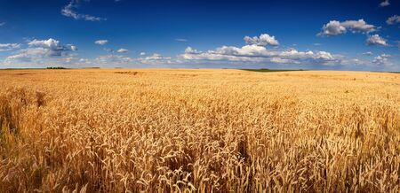 wheat: Agricultural panorama of wheat fields executed on Titel Hill. Titel Hill is a loess hillock situated in the Vojvodina province, Serbia and it is used only and exclusively for agricultural purposes.