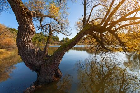 serbia landscape: Old willow tree in a natural lake in the fall before sunset. Stock Photo