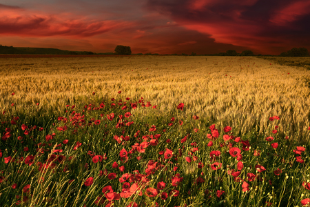 Magical sunrise with a view on idyllic fields of golden wheat and blooming poppies in the foreground.