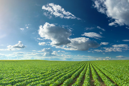 Rijen van groene sojabonen tegen de blauwe hemel. Soja velden rijen in de zomerseizoen.