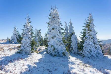 serbia xmas: Winter landscape with fir trees in mountain covered with fresh snow at idyllic sunny afternoon. Mountain Gokija, Serbia.