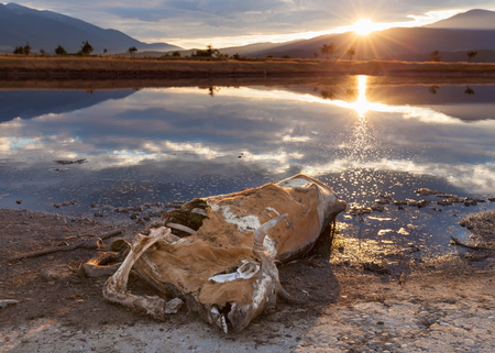 negligence: The corpse of the dead cow on the bank of the lake at sunset. Example of negligence towards the natural environment. Stock Photo