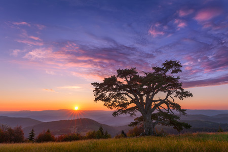 The famous, big Holy pine, estimated to be 500 years old on Kamena Gora mountain on the border of Serbia and Montenegro at idyllic sunrise and sun in background.