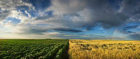 executed: Beautiful agricultural panorama of wheat crops and sunflower plants divided in half with rainbow, executed on Titel Hill, Serbia. Stock Photo