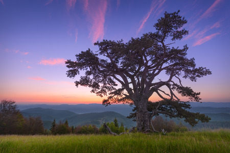 The famous, big Holy pine, estimated to be 500 years old on Kamena Gora mountain on the border of Serbia and Montenegro at idyllic dawn.