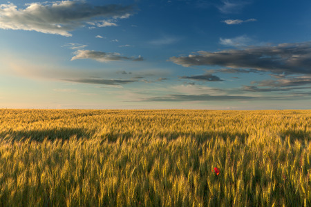 flower fields: Endless fields of wheat at the beautiful sunset with lonely single flower poppy in foreground.