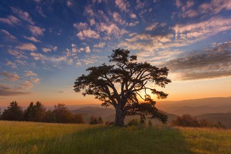 """De beroemde, grote """"Holy pine"""", naar schatting 500 jaar oud op Kamena Gora berg op de grens van Servië en Montenegro op idyllische warm zonsopgang zijn."""