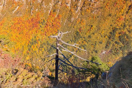 View on dead pine tree with colorful autumn scenery at idyllic sunny day in wild canyon of river Susuica, Montenegro.