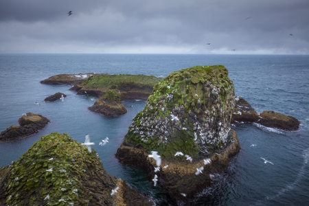 Iceland landscape photo as nesting paradise for many Kittiwakes seagulls flying by cliffs.
