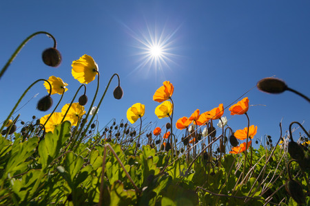 Colorful poppies against the sun at sunny day in north Iceland also known as Meadow Pastels.