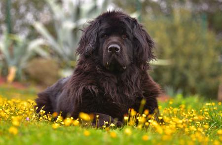 Newfoundland dog in garden