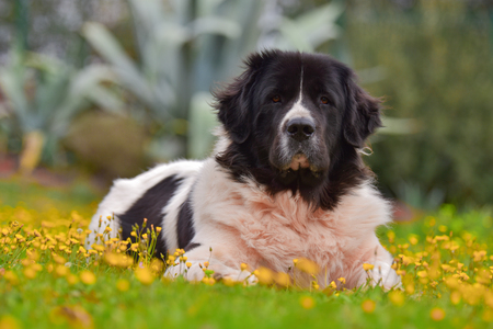 Adult landseer in garden