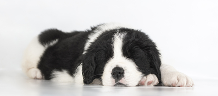 Puppy landseer in studio