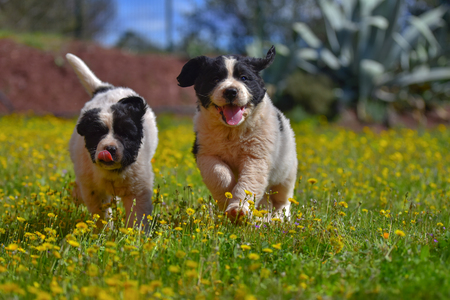 Puppy landseer playing in garden Banco de Imagens